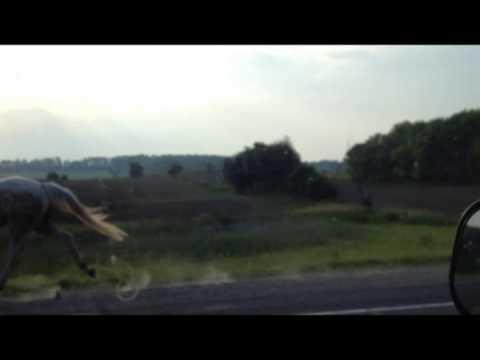 HORSE RUNNING ON WOODBINE AVENUE IN STOUFFVILLE