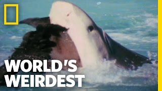 Albatross vs. Shark | World