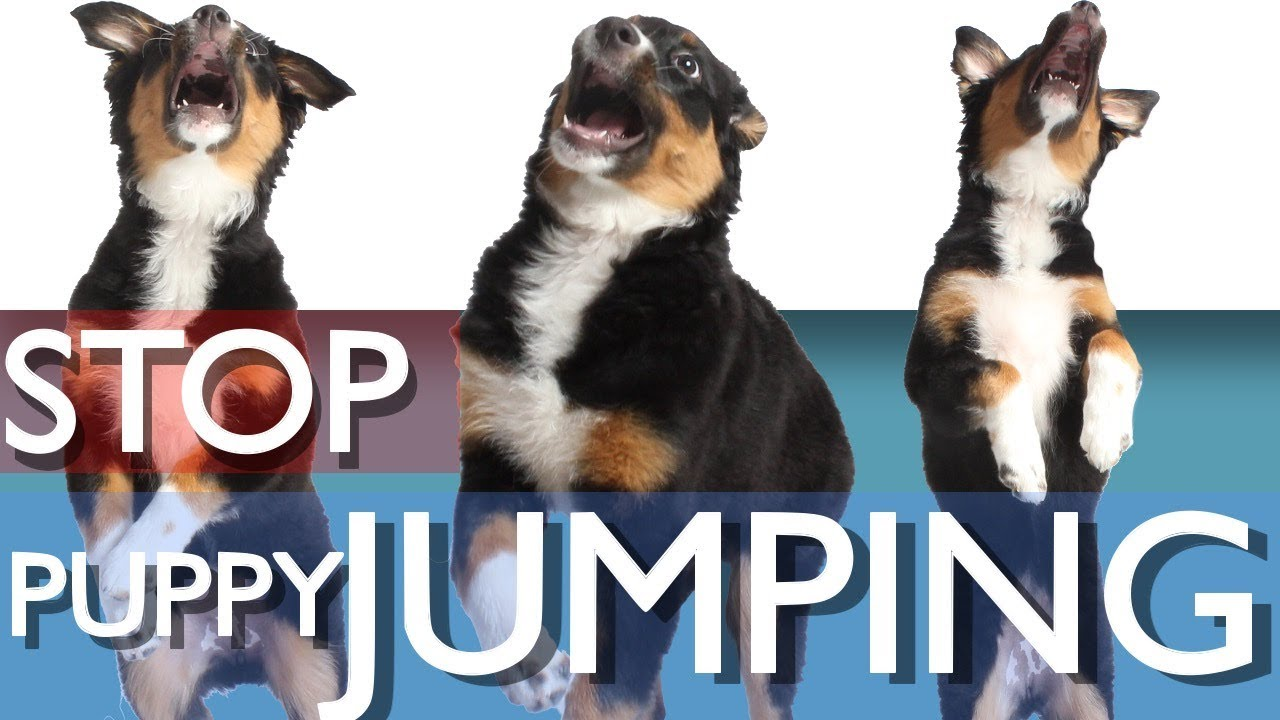 how to train a puppy to stop jumping