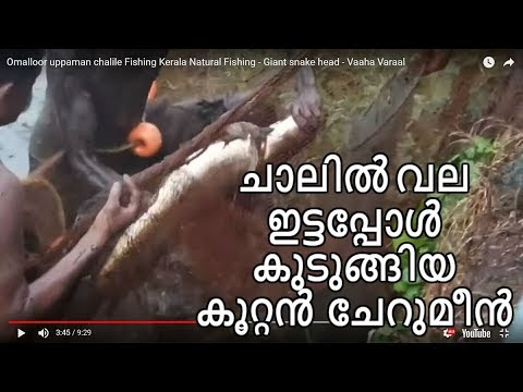 Omalloor uppaman chalile Fishing Kerala Natural Fishing - Giant snake head - Vaaha Varaal