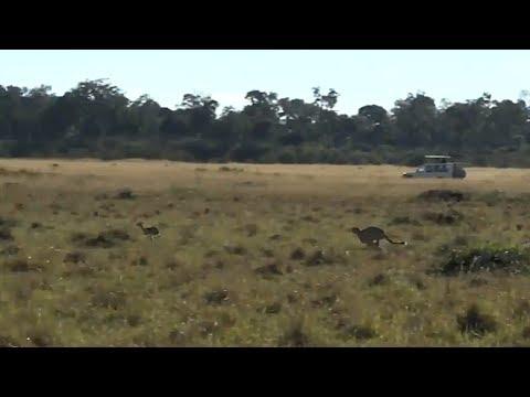 SafariLive May 25 - Sprint Thomson's gazelle vs Cheetah 01-00