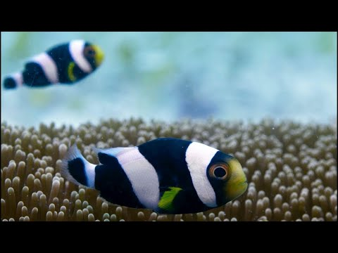 Incredible Teamwork From Little Clownfish | Blue Planet II
