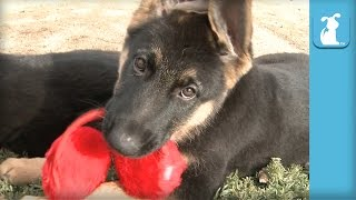 12 Week Old German Shepherd Puppies Play With Earmuffs - Puppy Love