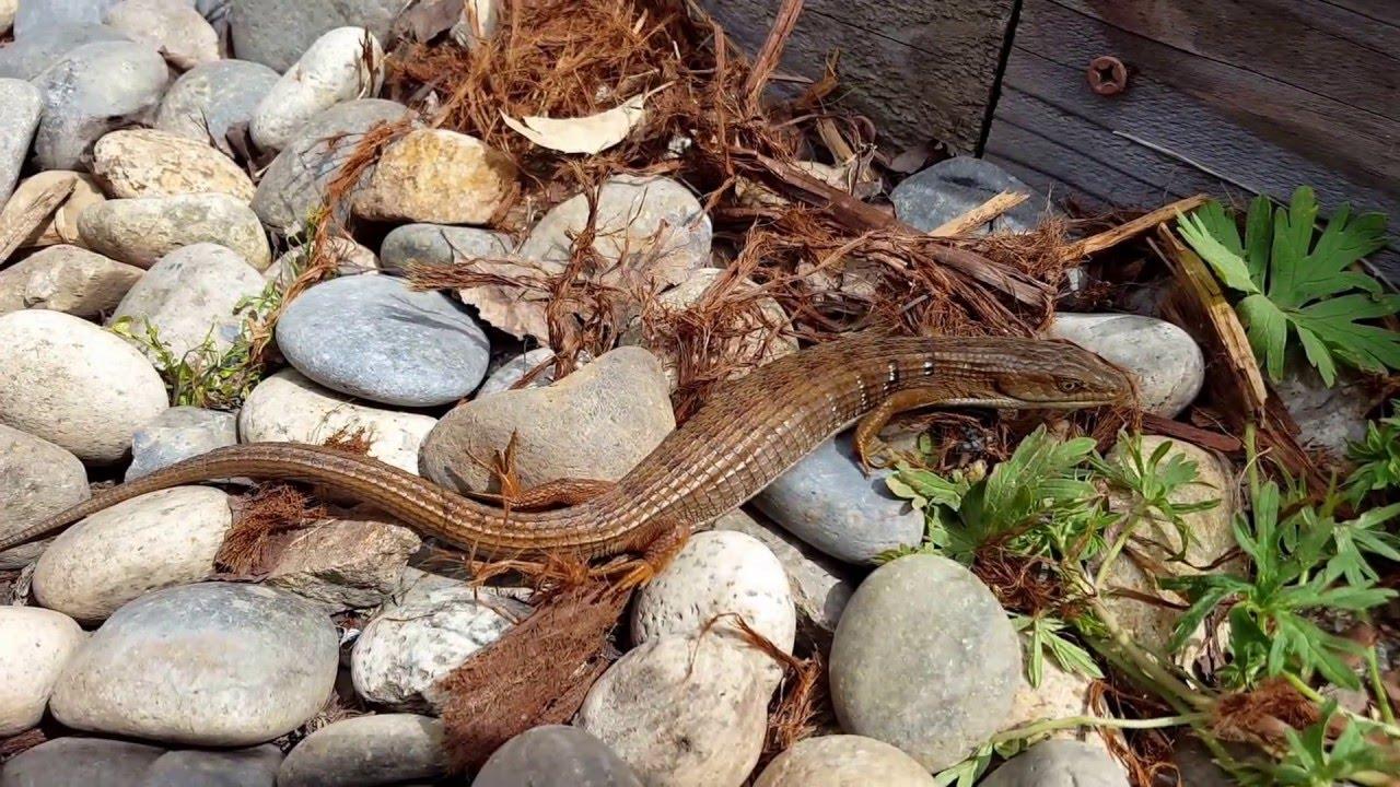 California Alligator Lizard in backyard - YouTube