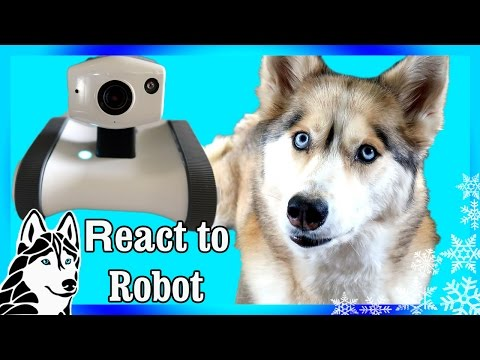 DOGS REACT TO ROBOT RILEY | Husky reacts to Robot