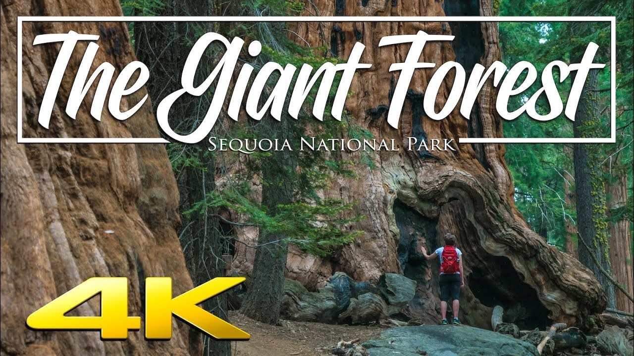 Download The Giant Forest 4K | Sequoia National Park