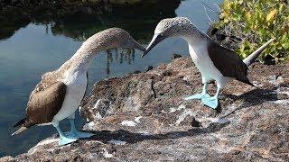 Ухаживание голубоногого олуша. Один раз и на всю жизнь. Галапагосы, остров Изабелла