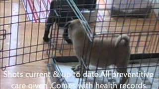Pug Puppies For Sale In Ohio Oct 25,2011.wmv