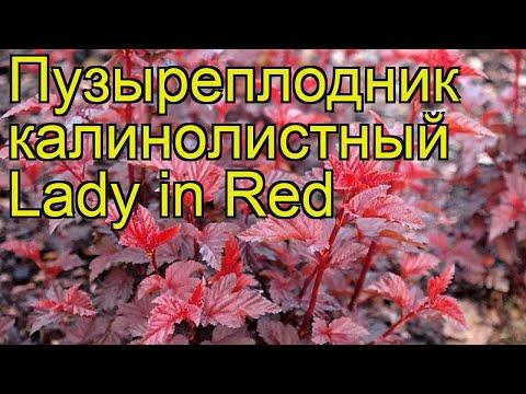 Пузыреплодник калинолистный Lady in Red. Краткий обзор, описание характеристик, где купить саженцы