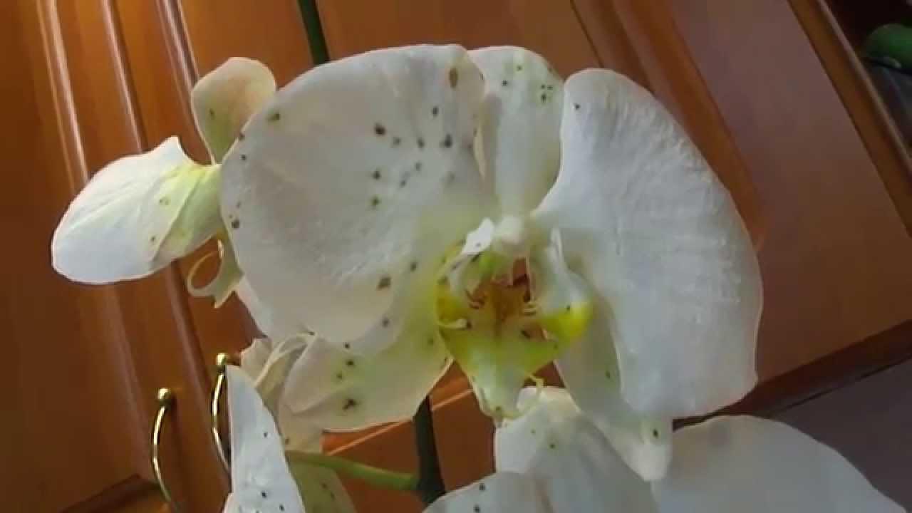 Пятна на цветах орхидеи лечение