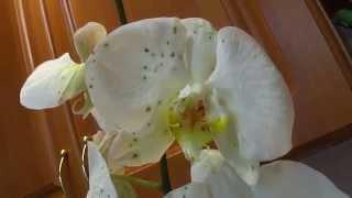 Пятна на цветках орхидеи. Серая гниль.