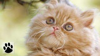 Породы кошек - Персидская кошка. [Persian Cat (Cat Breed)]