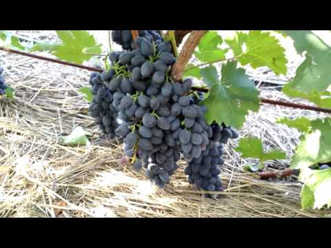Урожайность винограда сорта Чарли (Антрацит) 2016