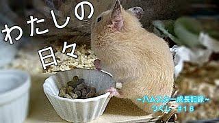 【こるはちたいむ☆】 ハムスターまったり成長記録♯16 ~初めてのお食事♪~「To those who love hamsters ♪」Golden hamster Pets & animals