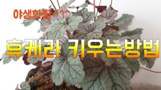 휴케라 키우는 방법베란다정원 야생화키우기야생화짱074
