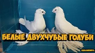 ПАРА БЕЛЫХ ДВУХЧУБЫХ ГОЛУБЕИ | Pigeons | Taube | doves | dove