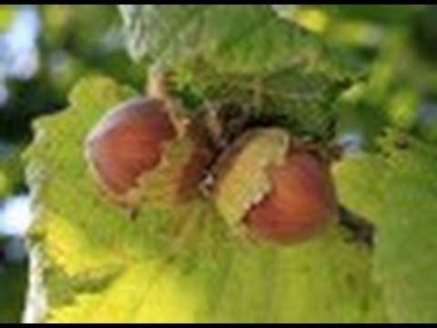 Comment planter des aubergines jardinerie truffaut tv - Comment tailler un noisetier ...