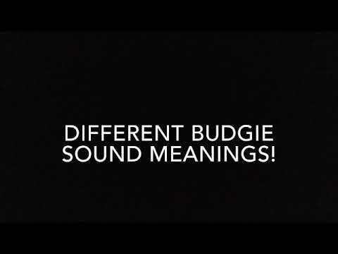 Budgie sound meanings!