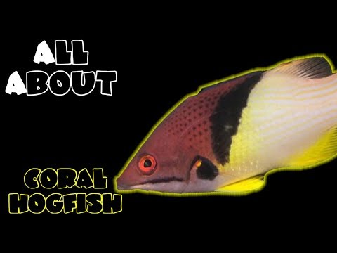 All About The Coral Hogfish