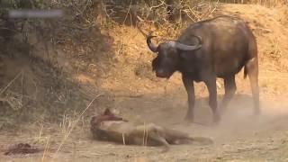 Кровавая битва Льва и Буйвола. Мир животных