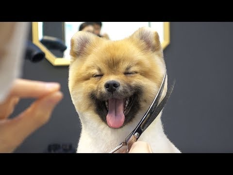 A smiling dog. / Baby Pomeranian first grooming.