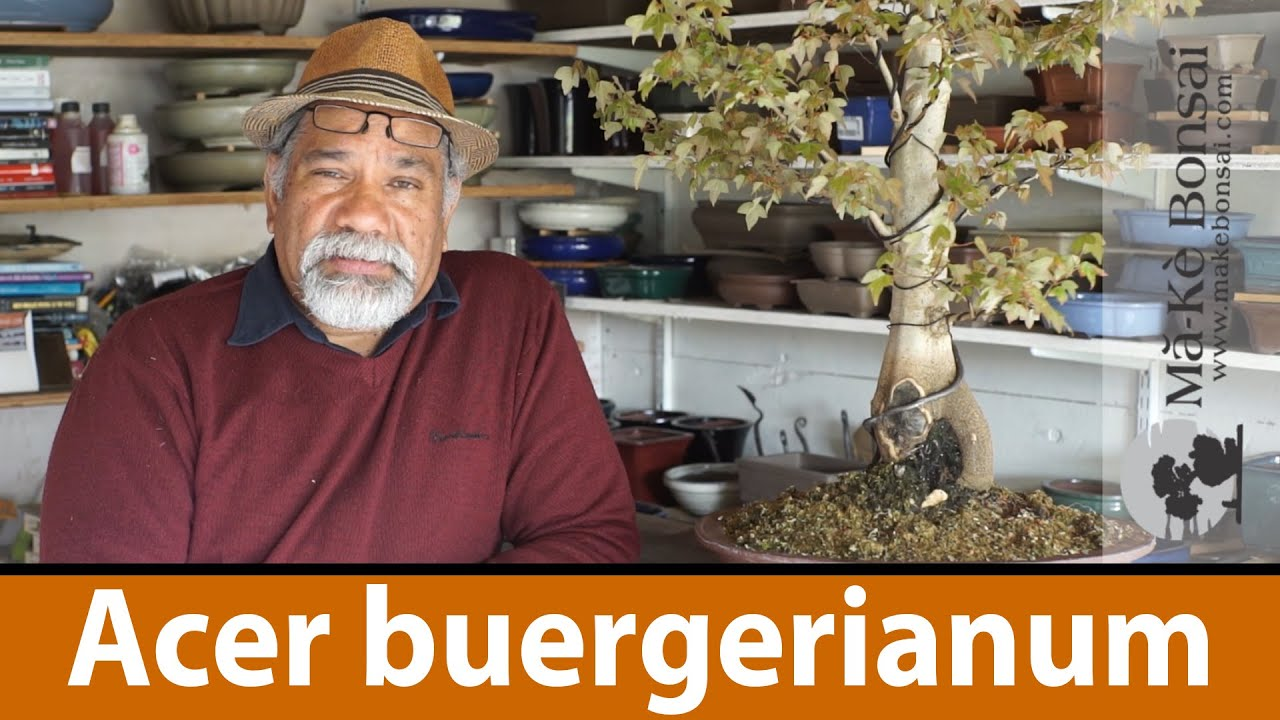 123 Bonsai Tree Care Of Acer Buergerianum Trident Maple Great Wiring Demo Trees For Beginners