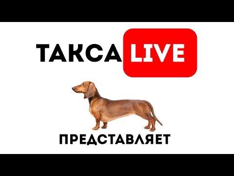 🔴DAY 21.Щенки таксы онлайн 🔴 Dachshund Puppies Online