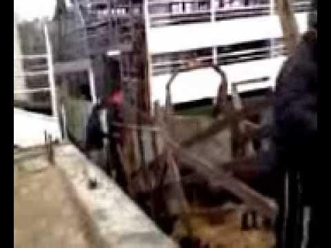 Live sheep in Giurgiulesti Danube / Black Sea Port