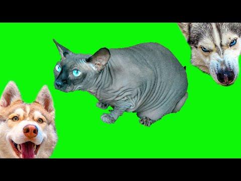 Бандит и Бублик против Лысого кота Марсика!! (Хаски Бублик) Говорящая собака