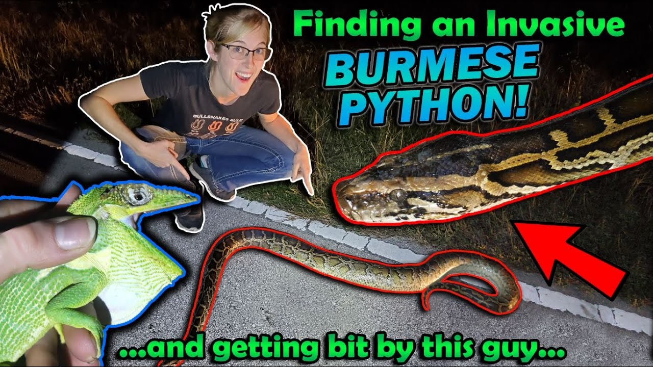 Finding INVASIVE Reptiles in Florida!