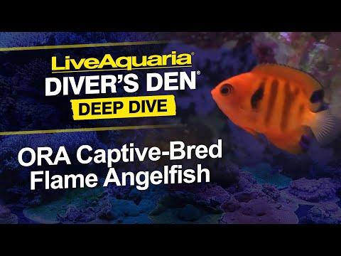 LiveAquaria® Diver's Den® Deep Dive: ORA Captive-Bred Flame Angelfish