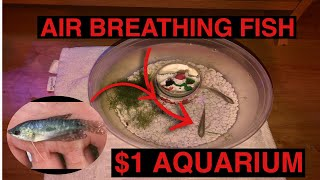 wORLDS coolest HOMEMADE $1 STORE AQUARIUM!!! AIR BREATHING FISH