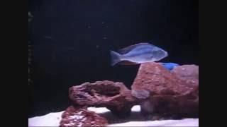 Цихлида-нож (Dimidiochromis compressiceps)(, 2016-05-22T09:42:31.000Z)