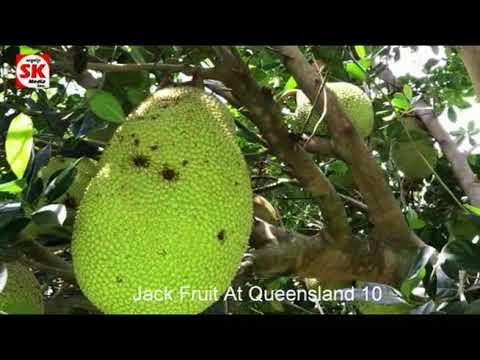 SK Media  Report From Queensland Jack Fruit 10
