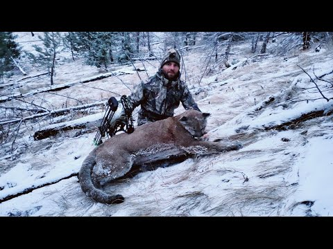 Here Kitty Kitty! A Deer Hunt Turns Into A Cougar Hunt.