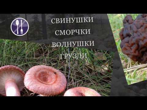 Грибы маслята: фото и описание видов, как отличить