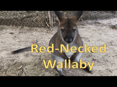 Red-neck Wallaby (Scovill Zoo) - Episode 202