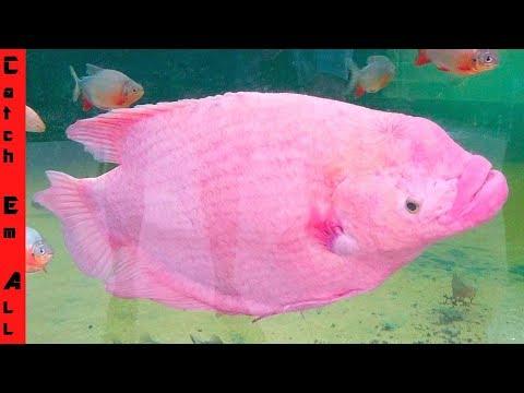 BRAIN EXPOSED FISH Lives 18 YEARS