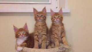 Рыжие котята мейн-кун