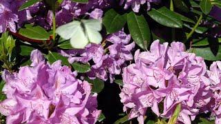 Rododendrony - pobudzanie do wzrostu. Trawnik - choroby grzybowe trawnika.