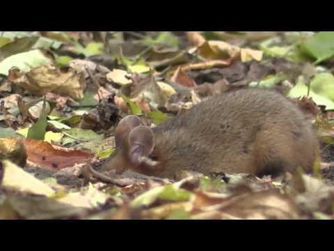 Black Bellied Hamster 1