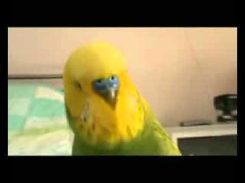 Армянский попугай  Слушайте внимательно