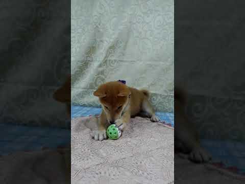 PuppyFinder.com : Kobe the yellow Shiba Inu puppy