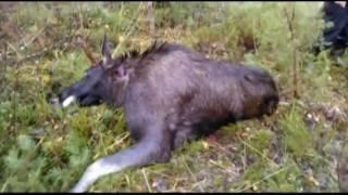 Охота в Финляндии на Лося