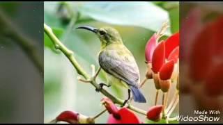 Masteran burung kolibri kelapa kolibri sriganti