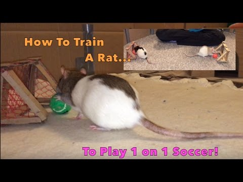 How To Train A Rat To Play 1 on 1 Soccer