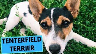 Tenterfield Terrier  TOP 10 Interesting Facts