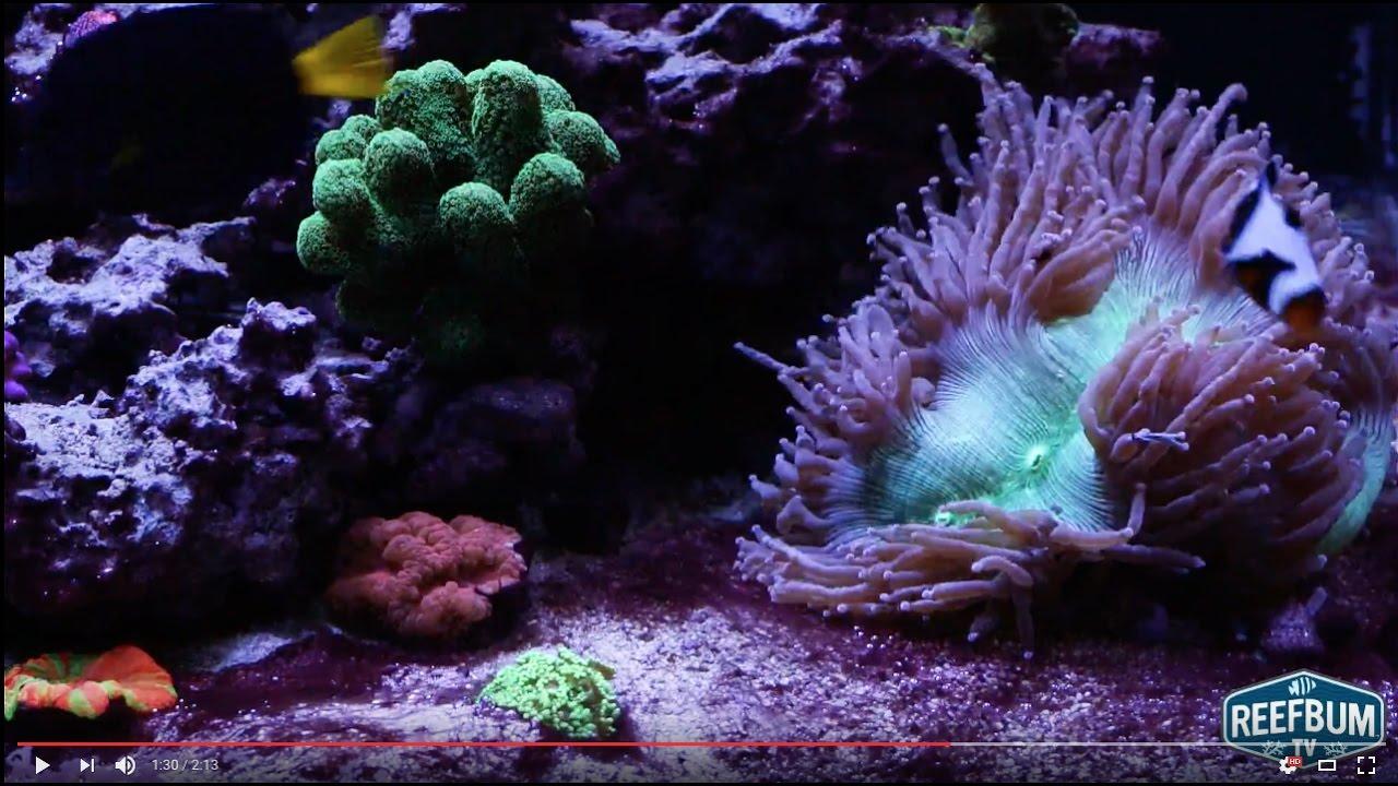Cyanobacteria Algae Reef Tank