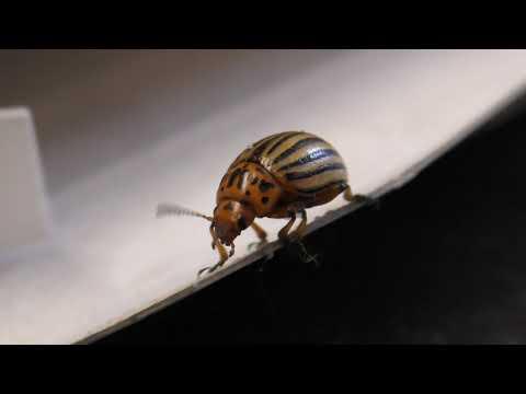 видео: Средство колорадского жука