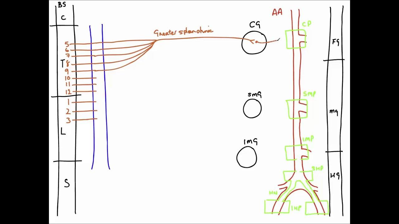 Autonomic nerves of the abdomen youtube autonomic nerves of the abdomen ccuart Gallery